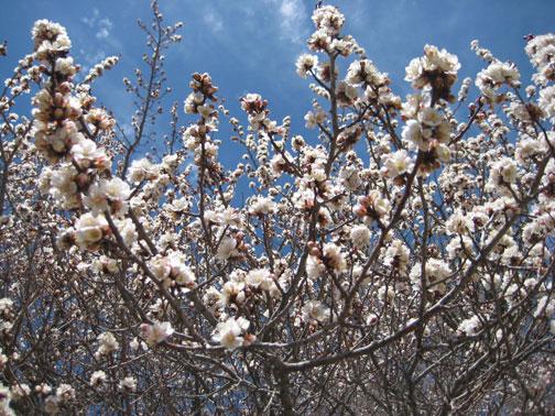 white-apricots