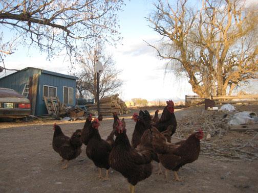 chickens-003