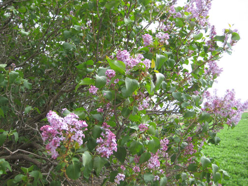 Lilac-in-Bloom