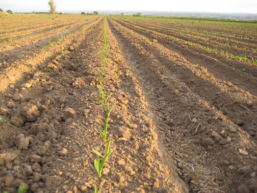 New-Corn-003