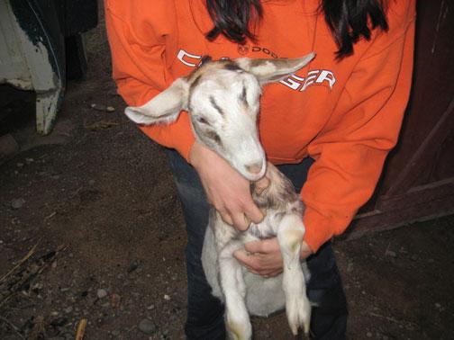 White-Goat