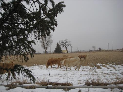 Hank's-Cows