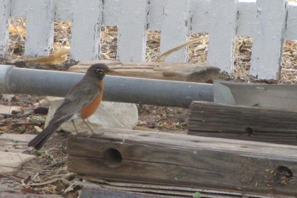 Robin-7