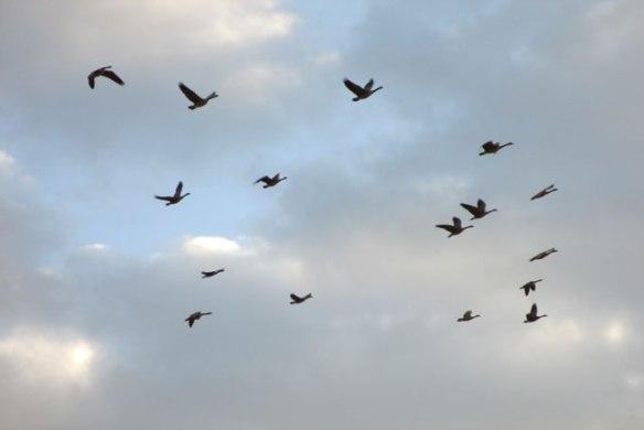 Sand-Hill-Cranes-1