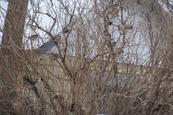 More-Sparrows