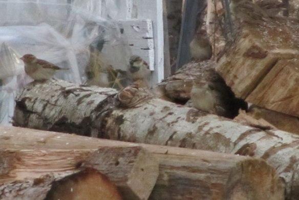 Sparrows-e