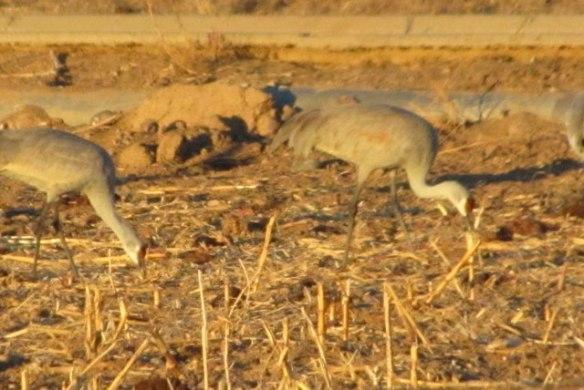Cranes-4