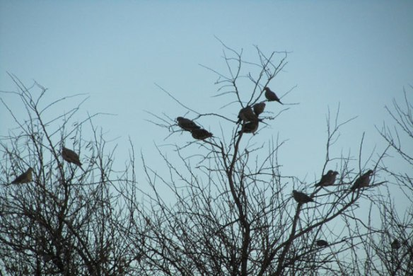 Doves-in-a-tree-1