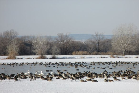 Geese-3