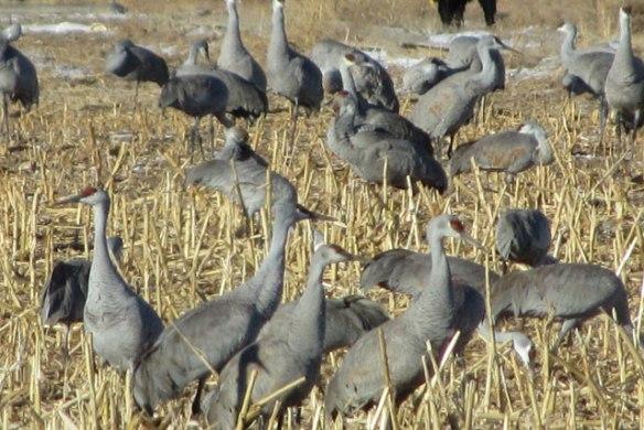 Sandhill-Cranes-1