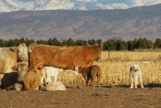 Cows and Coyotes---What I Know---and It Might Not Be Enough (1/2)