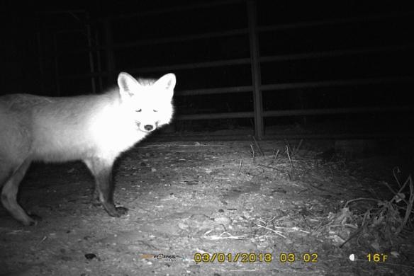 Freddy-Fox-3