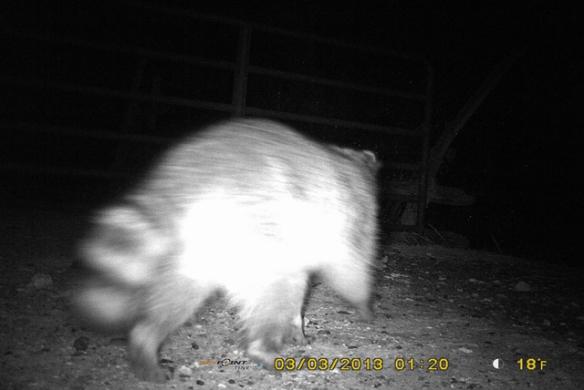 Rikki-The-Raccoon