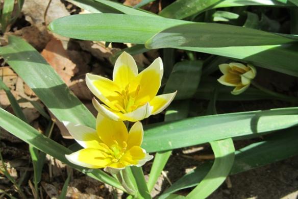 Tarda-Tulips