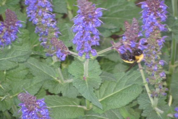 Bumble-bee-4