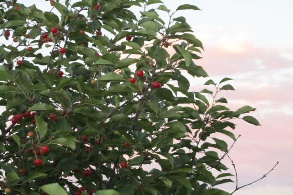 Cherries-ready
