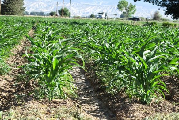Corn-June