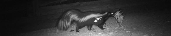 cropped-night-skunk1.jpg
