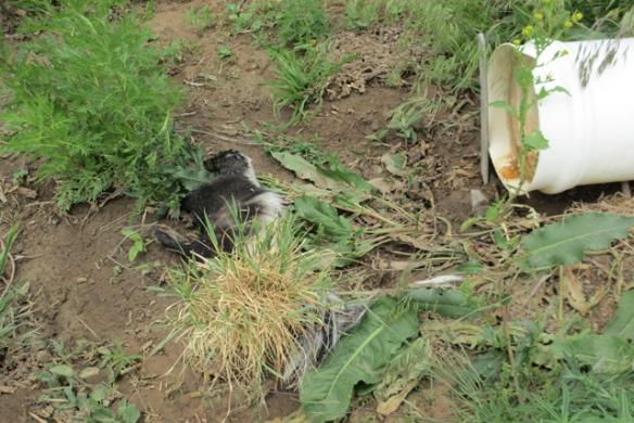 Dead-Skunk