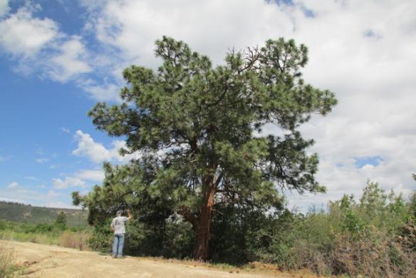 Old-tree-1