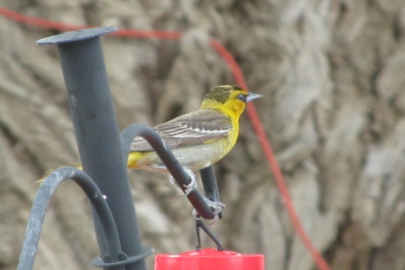 Yellow-Bird-1