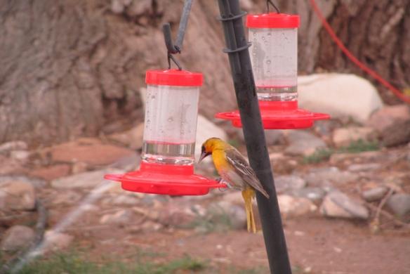 Yellow-Bird-2