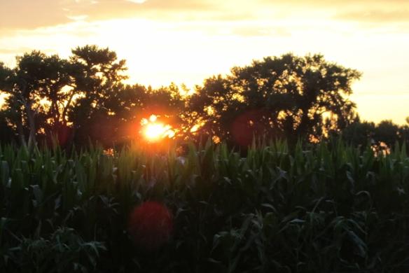 Corn-and-sun