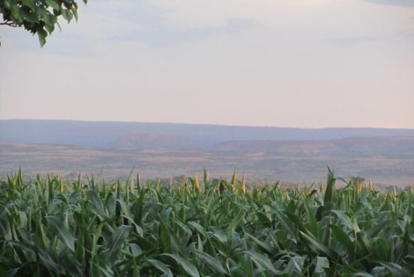 Tips-of-corn