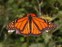 220px-Monarch_Butterfly_Danaus_plexippus_Male_2664px