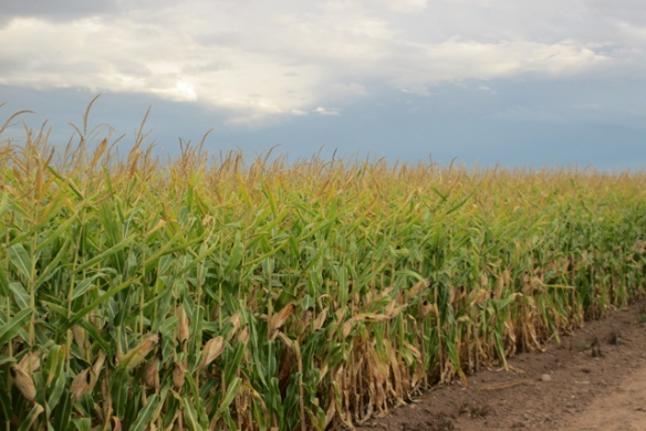 Corn-9