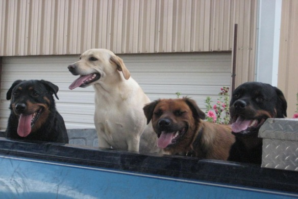 Dogs-and-Hank-in-truck