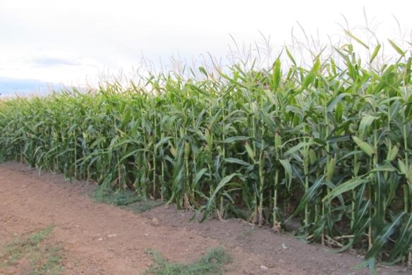 More-corn