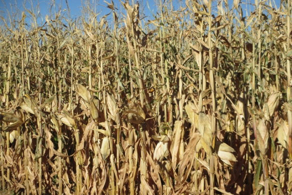 Corn-drying-down
