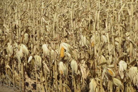 Corn-on-the