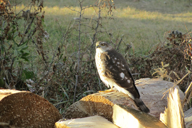 Little hawk waiting for mice by the firewood