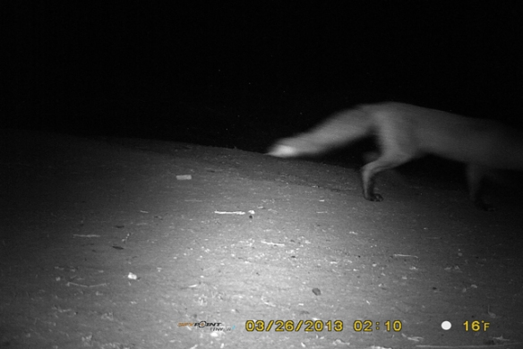 Fox-on-the-road