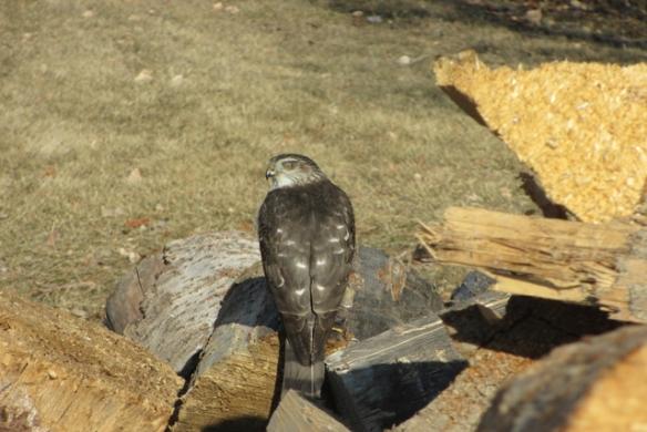 Friend-Hawk-1