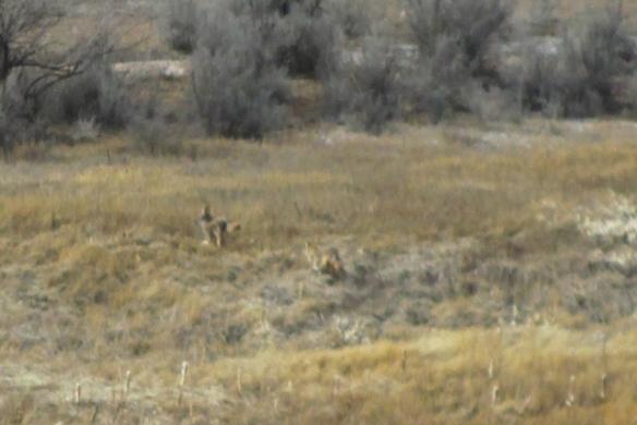 Coyotes-run