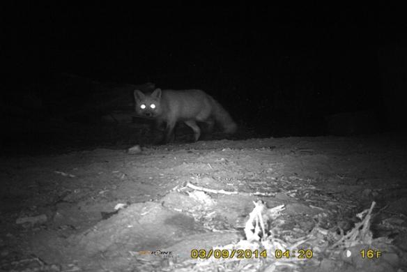 Fox-Feral-1