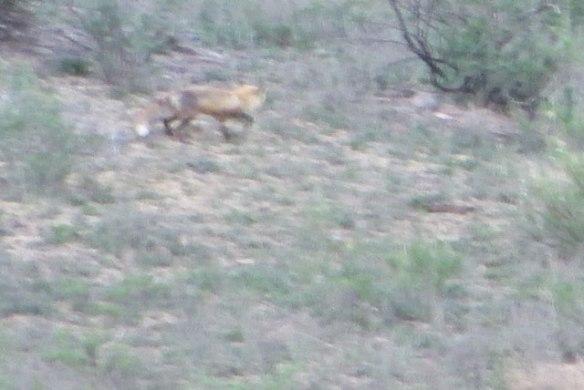 Running-Fox