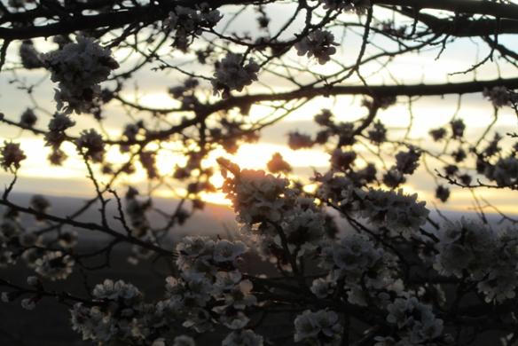 Sunset-blooms