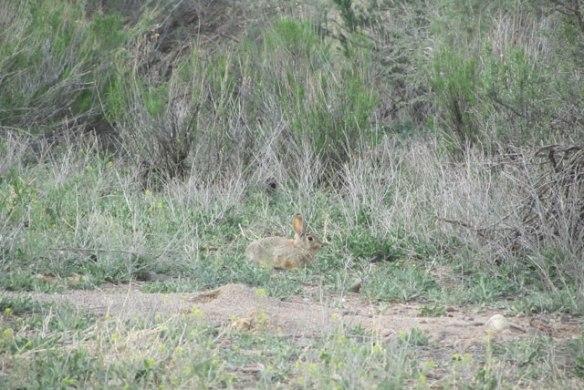 Wild-bunny