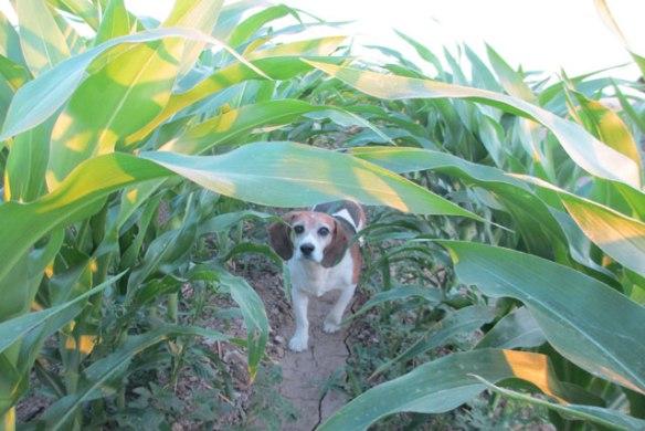 A-walk-in-the-corn
