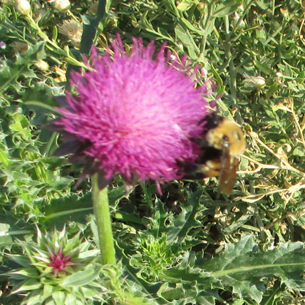 Bee-and-Thistle