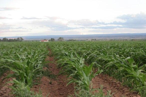 Corn-Field-1