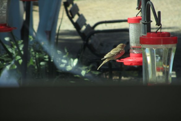 Little-Brown-Bird-2