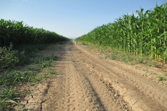 Road-in-the-corn