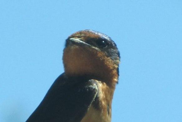 Swallow-1