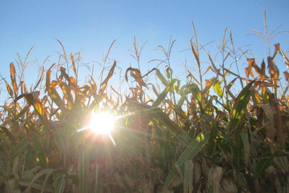 Sun-and-corn