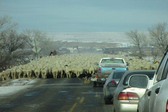300-sheep